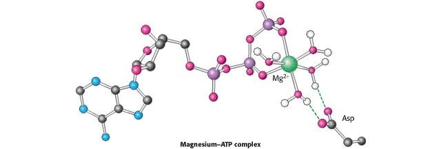 El Ion magnesio y los calambres musculares